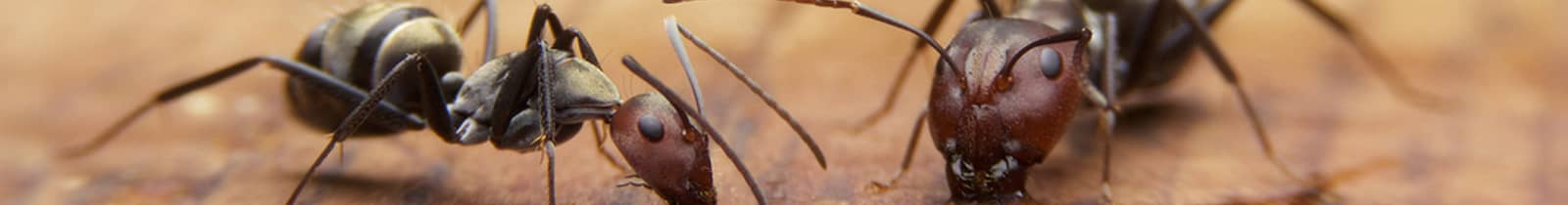 ant treatment-chandler-arizona